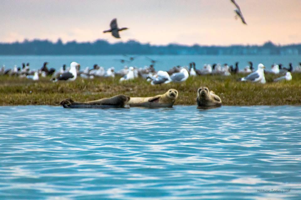 seals, bird island, rehoboth bay, inland bays, indian riverbay