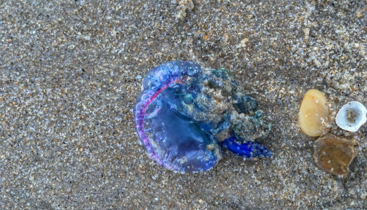 Man O war found on Conquest beach .. photo by Sarah Brasiel