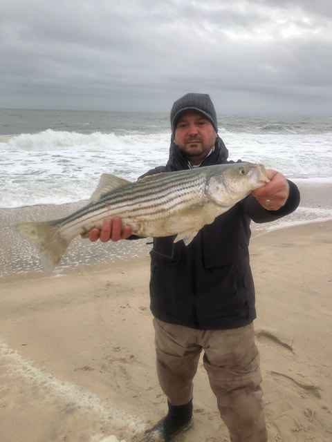 striped bass, rockfish, delaware surf fishing, delaware seashore state park, line sider, bunker chunks, 20 hour soak