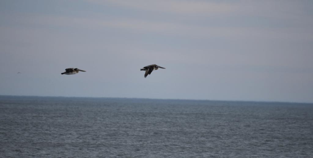 brown pelicans, delaware beaches, delaware surf fishing,