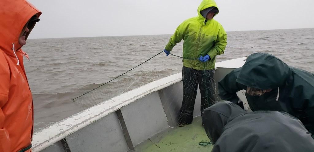 striped bass, commercial angler, delaware bay, coronavirus, commercial fishing, netting striped bass