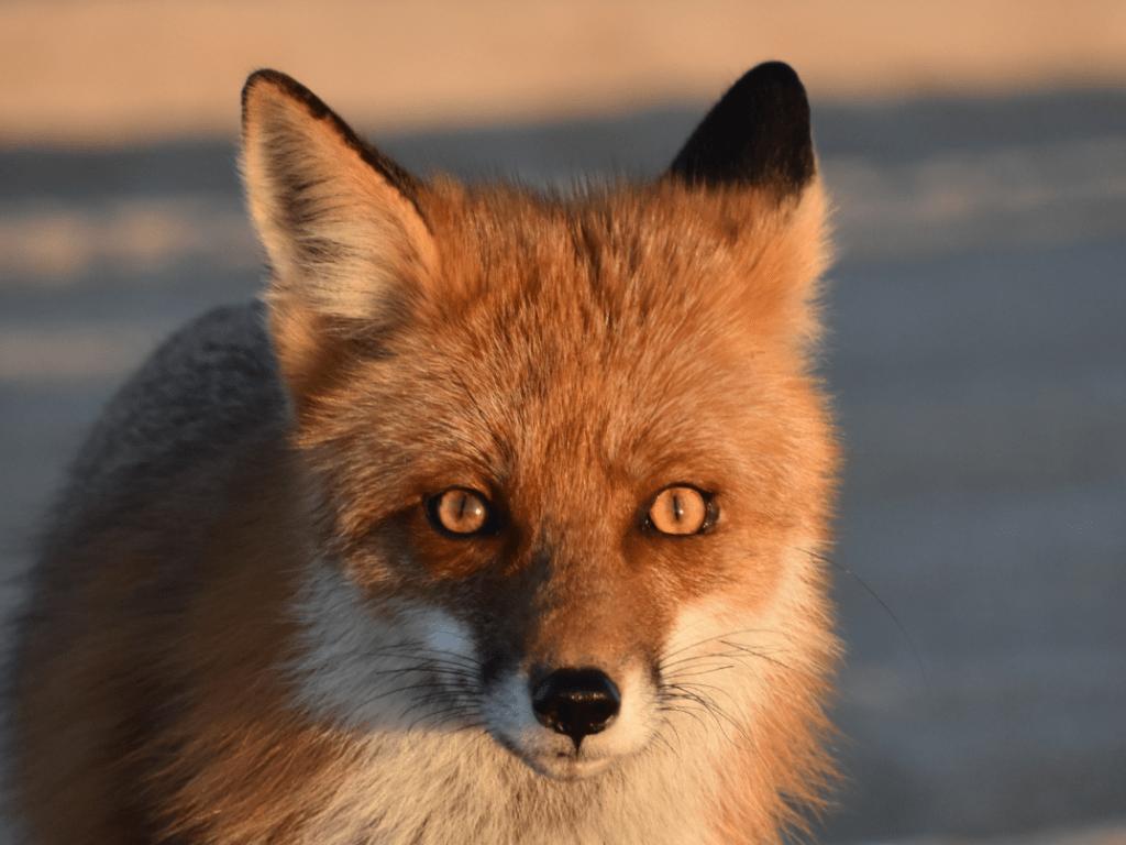red fox, delaware, sussex county, dune fox, invasive species, delaware seashore state park, bait stealer, 3Rs