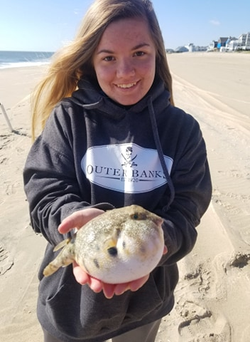 northern puffer fish, delaware surf fishing, fenwick island state park, drive on beaches,