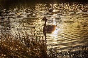 zwaan kleef aan of de gouden zwaan