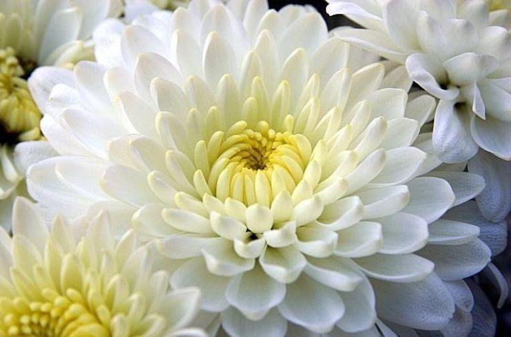 crizantema-alba