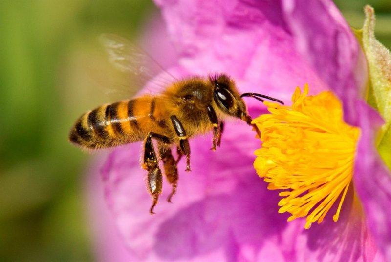 La imagen tiene un atributo ALT vacío; su nombre de archivo es abeja-1-1024x687.jpg