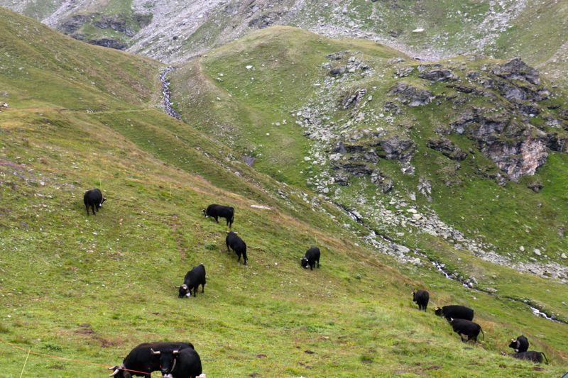 Eringer Kühe auf der Nava Alp