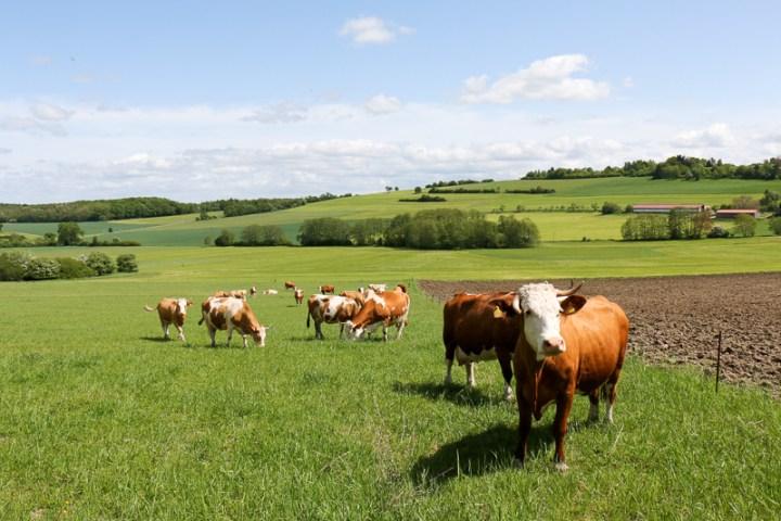 Kühe vom Neukahlenberger Hof