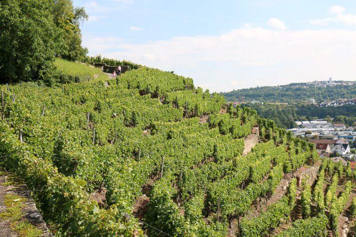 Steillagenweinbau am Neckar