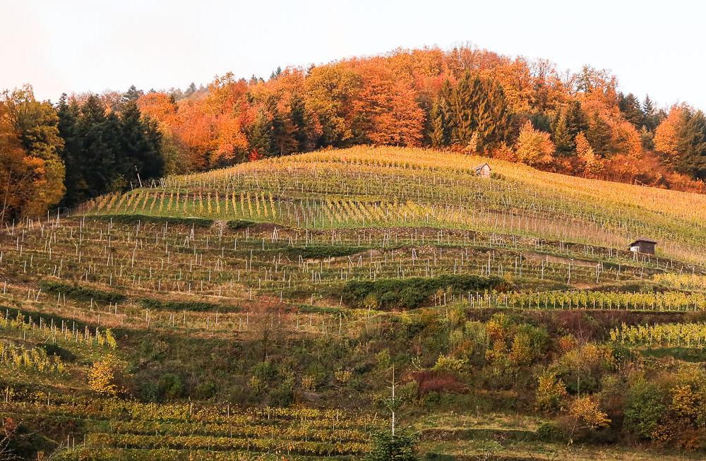 Badischer Wein: Eine Reise zum Burgunder im Breisgau & am Kaiserstuhl