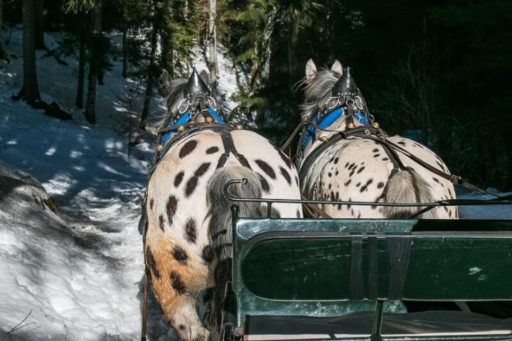 Pferdeschlittenfahrt in Hafling