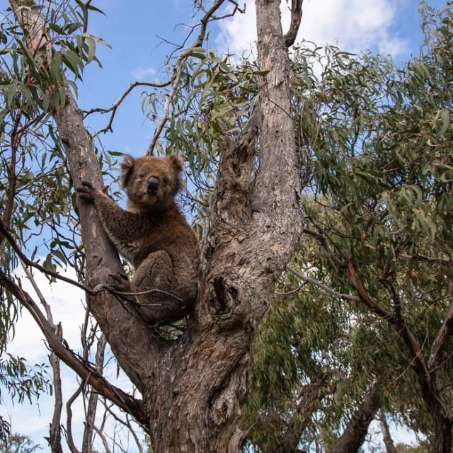 Koala auf Raymond Island