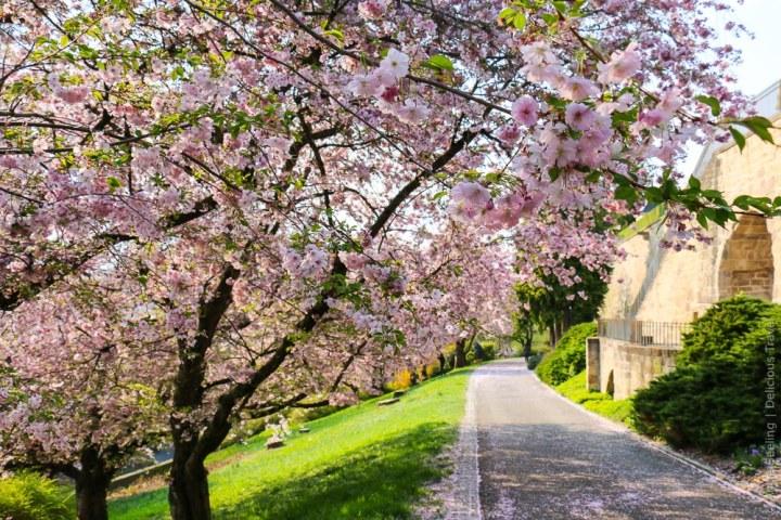Japanische Kirschbäume am Leonberger Schloss