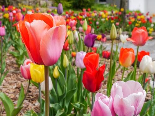 Tulpenfeld im Heckengäu