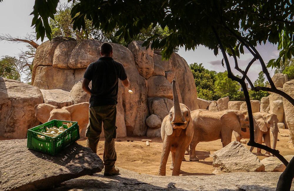 Elefantenfütterung im Bioparc Valencia