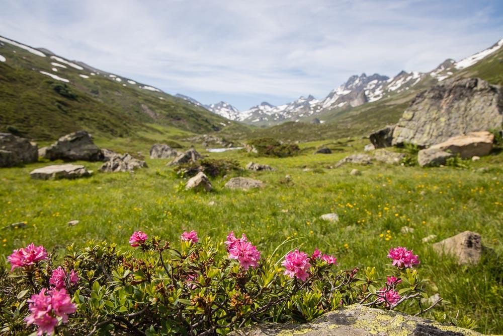 Alpenrosen im Fimbatal