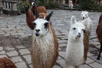 Lamas Ecuador