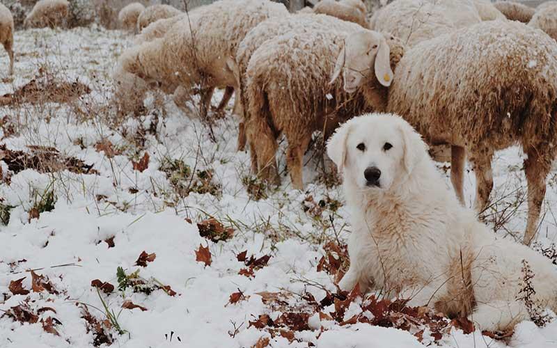 Il vero cane da guardia