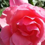 Blowing Roses  – Demagnetizing  Negative Energy