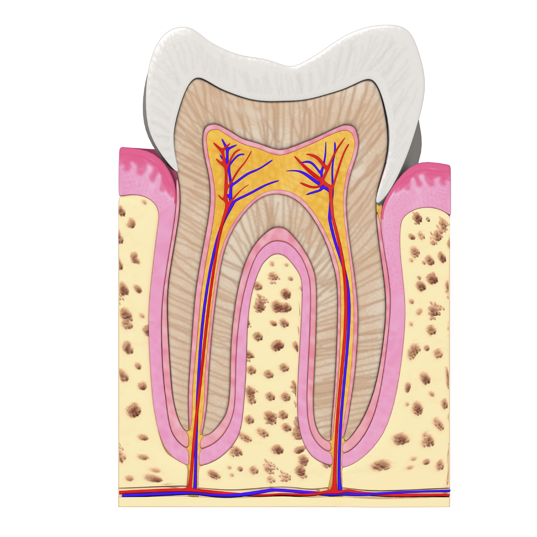 Anatomy Of A Tooth Delta Dental Of New Jersey Blog