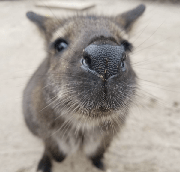 Wide-eyed wallaby