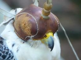 Des spectacle de fauconnerie ont lieu lors des journées médiévales.