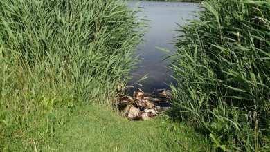 Photo of 13 Hennen verdronken bij het gat in de dijk