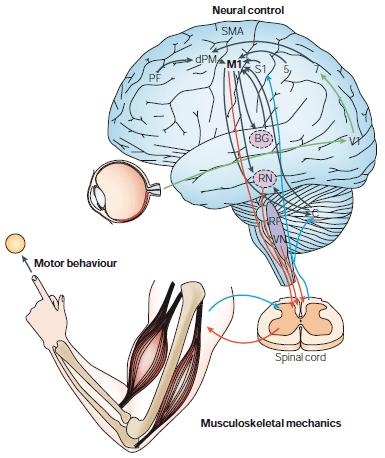memoria muscular