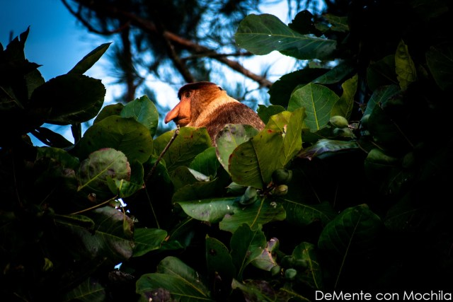 mono narigudo en la copa de un árbol