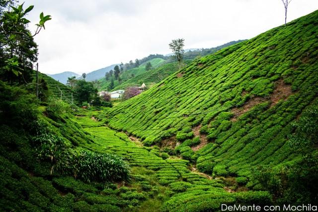 campos de plantación de té