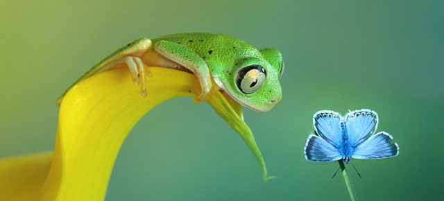 Grenouilles - frogs