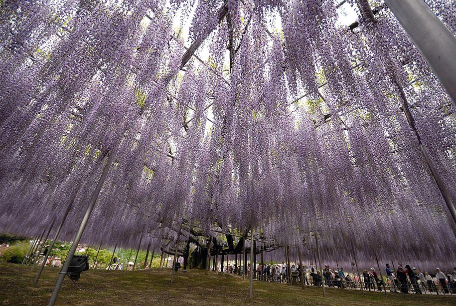 large-old-wisteria-bloom-japan-10