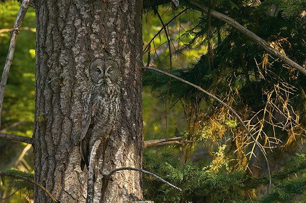 owls-comouflage-nature-photography-2