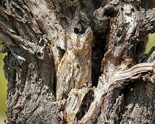 owls-comouflage-nature-photography-3