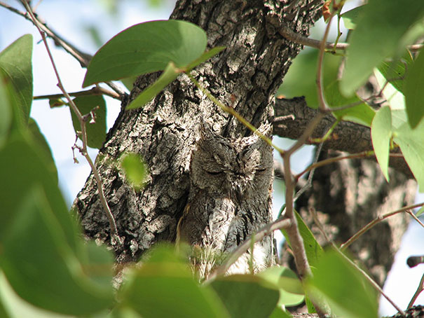 owls-comouflage-nature-photography-5