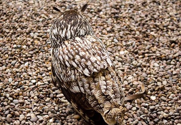 owls-comouflage-nature-photography-6