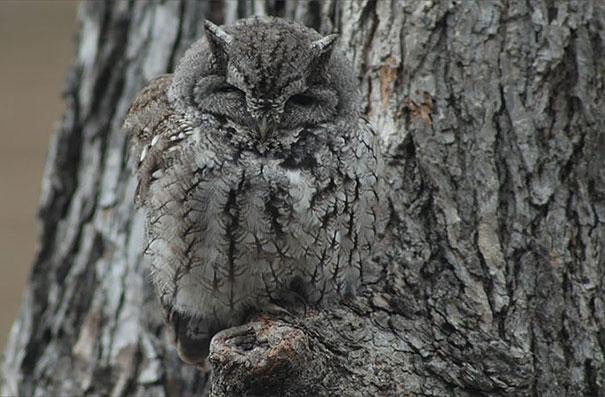 owls-comouflage-nature-photography-8