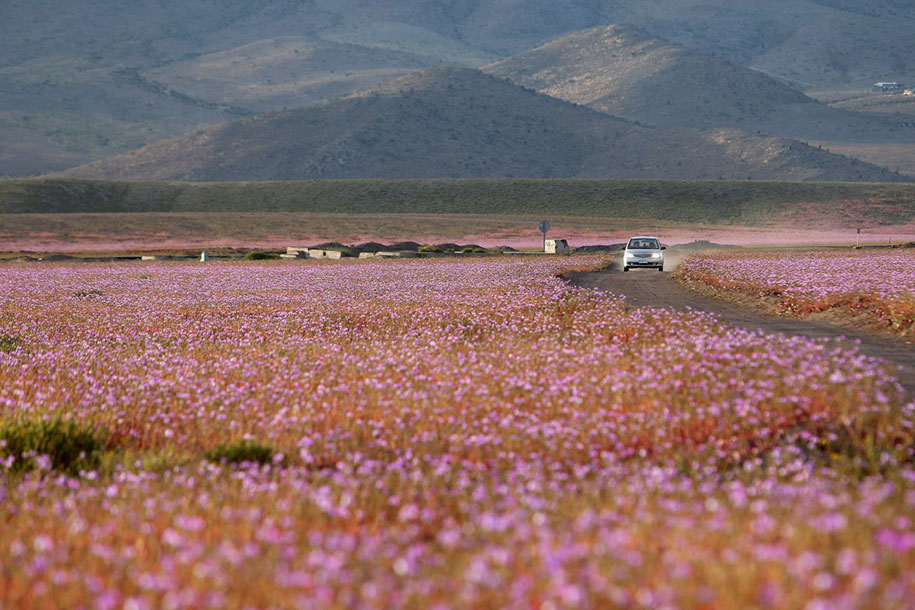 worlds-driest-desert-heavy-rains-flower-blooms-chile-1