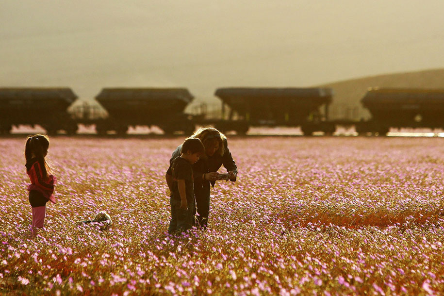 worlds-driest-desert-heavy-rains-flower-blooms-chile-3