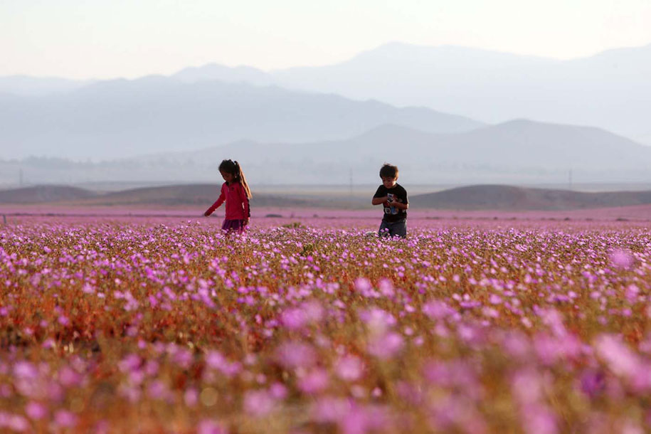 worlds-driest-desert-heavy-rains-flower-blooms-chile-5