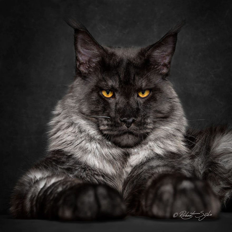 biggest-maine-coon-cat-photography-robert-sijka-13