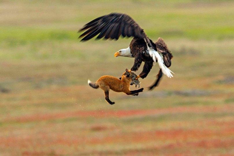 5b07de8ec37b4 wildlife photography eagle fox fighting over rabbit kevin ebi 8 5b0661f2c2717  880 - Incrível! Fotógrafo captura uma batalha rara entre raposa, águia e coelho