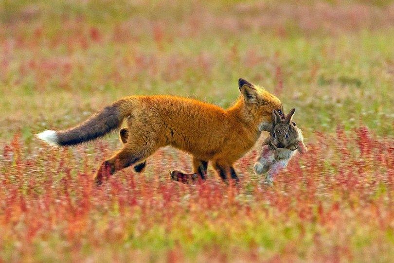 5b07de8f2bc7d wildlife photography eagle fox fighting over rabbit kevin ebi 3 5b0661e7e5168  880 - Incrível! Fotógrafo captura uma batalha rara entre raposa, águia e coelho