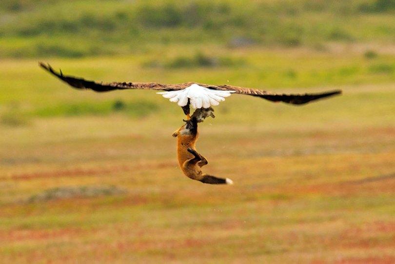 5b07de8fd8604 wildlife photography eagle fox fighting over rabbit kevin ebi 5 5b0661ebb3686  880 - Incrível! Fotógrafo captura uma batalha rara entre raposa, águia e coelho