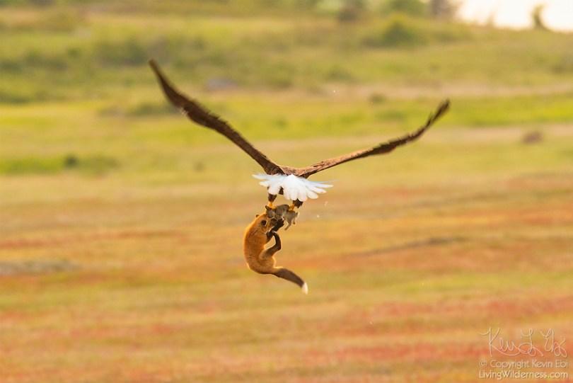 5b07de902f21f wildlife photography eagle fox fighting over rabbit kevin ebi 14 5b0662f18d04a  880 - Incrível! Fotógrafo captura uma batalha rara entre raposa, águia e coelho