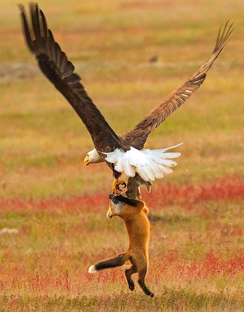 5b07de91df2e4 wildlife photography eagle fox fighting over rabbit kevin ebi 9 5b0661f5347b7  880 - Incrível! Fotógrafo captura uma batalha rara entre raposa, águia e coelho