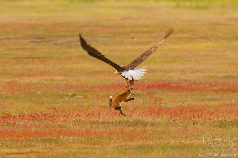 5b07de924d029 wildlife photography eagle fox fighting over rabbit kevin ebi 2 5b0661e5b1a11  880 - Incrível! Fotógrafo captura uma batalha rara entre raposa, águia e coelho