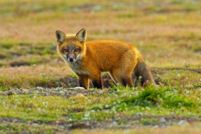 5b07de93013b7 wildlife photography eagle fox fighting over rabbit kevin ebi 11 5b0661f866c0c  880 - Incrível! Fotógrafo captura uma batalha rara entre raposa, águia e coelho