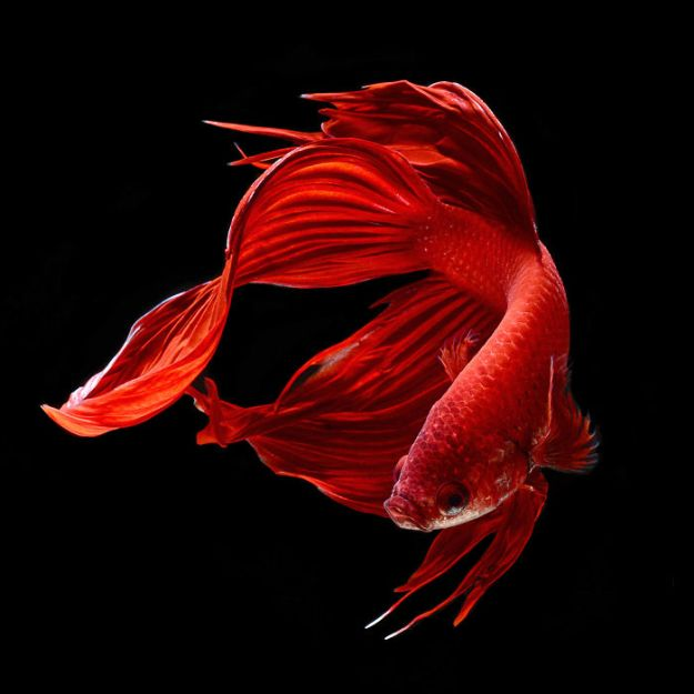 5b75729b8924f-The-Elegant-And-Fantastic-Poses-Of-Aquarium-Fish-Captured-By-A-Thai-Photographer-5b713a1b2096d__700 This Thai Photographer Captures Aquarium Fish Like You've Never Seen Before Photography Random