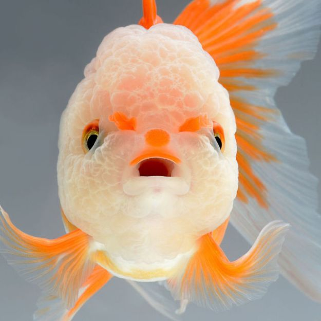 5b75729baf9dc-The-elegant-and-fantastic-poses-of-aquarium-fish-captured-by-a-Thai-photographer-5b709173f0866__700 This Thai Photographer Captures Aquarium Fish Like You've Never Seen Before Photography Random